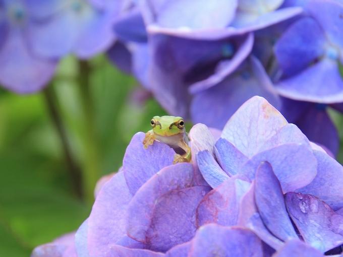紫陽花と蛙 イケメンくんカメラ目線