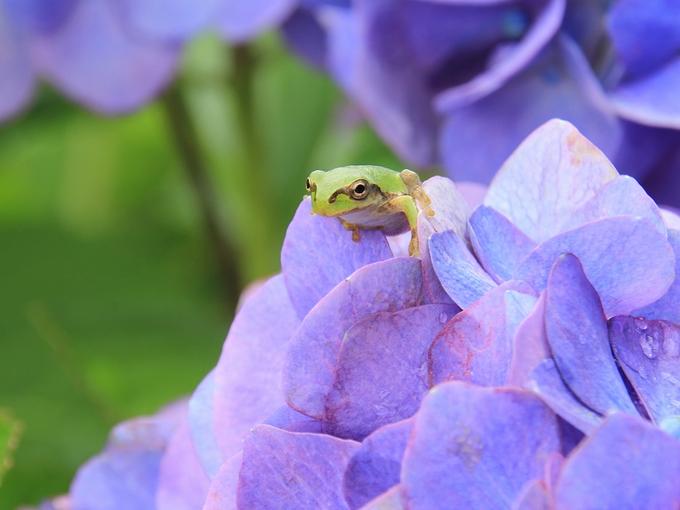 紫陽花と蛙 イケメンくん