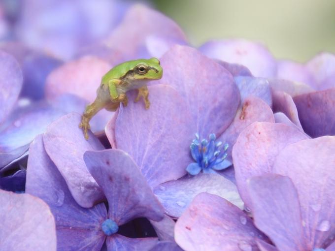 紫陽花と蛙 イケメンくん必死