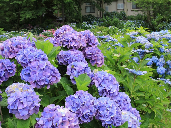 紫陽花と蛙 金沢市本興寺