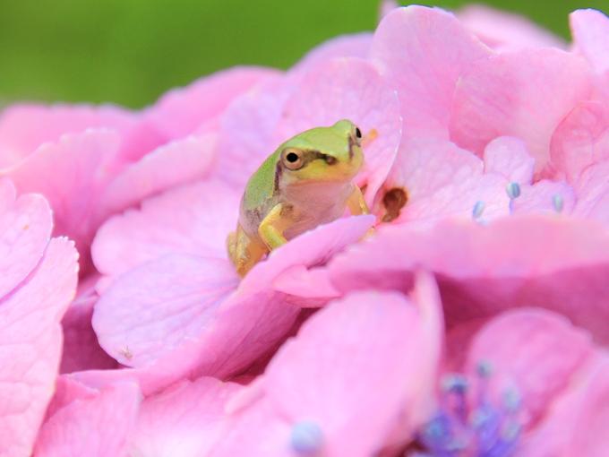ピンクの紫陽花と蛙 金沢市本興寺