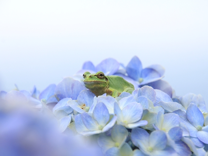 紫陽花と蛙 長老か!?