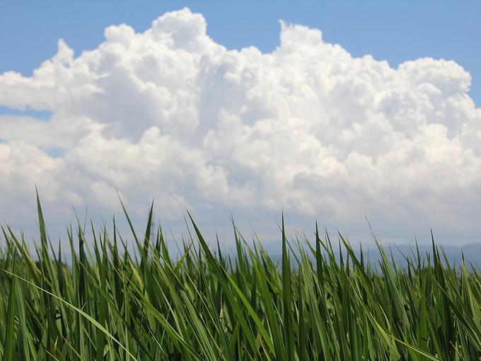 稲の緑と夏の雲 石川県金沢市