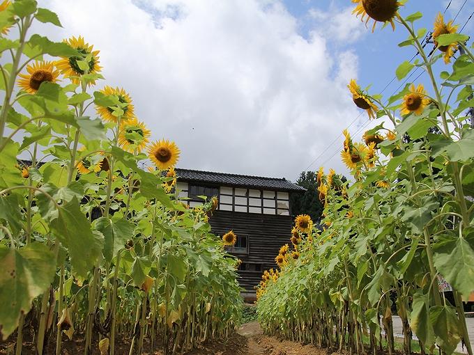 金沢の山里のひまわり畑 平栗地区