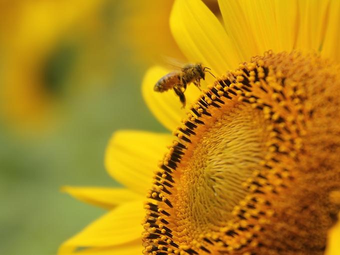 金沢市平栗のヒマワリ ミツバチとともに