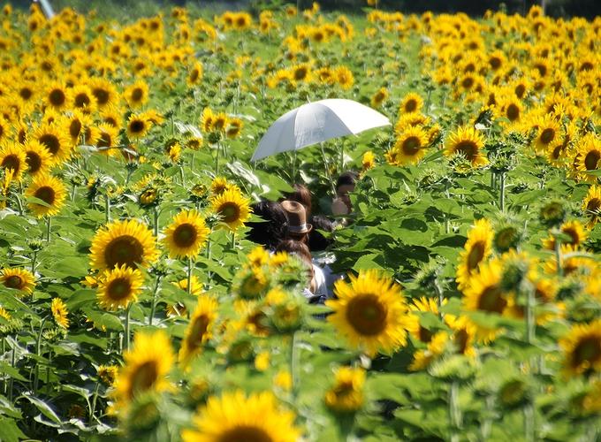 ひまわり迷路と日傘