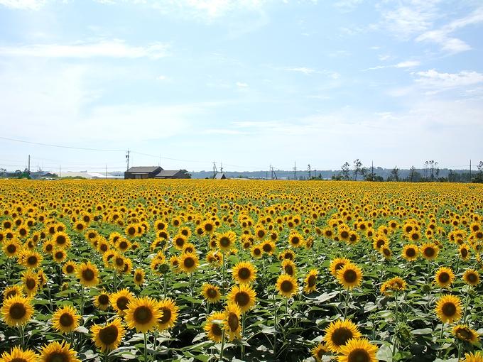 昼下がりのひまわり畑 35万本のヒマワリ