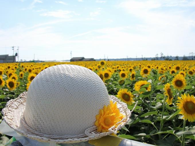 ひまわり畑と麦わら帽子 津幡町ひまわり村