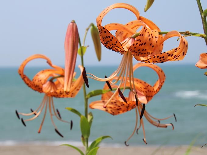 海辺に咲くオニユリ 白山市おにゆりの里