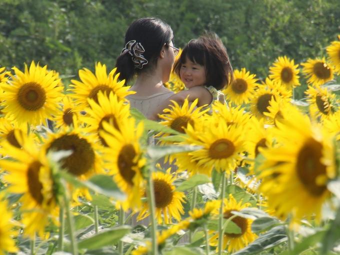 ひまわり迷路で遊ぶ子供 城端・桜ヶ池クアガーデン