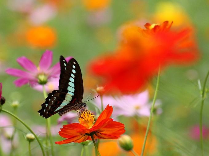 コスモスと蝶々 浜離宮恩賜庭園