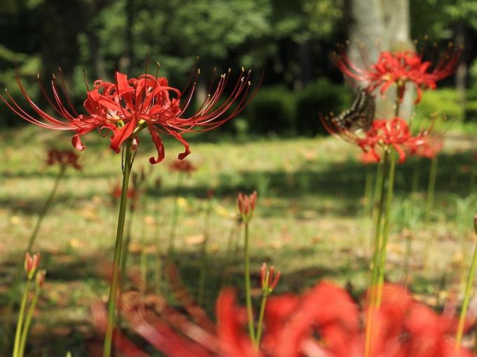 白山市樹木公園の彼岸花