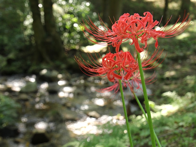 森の渓流に咲く彼岸花