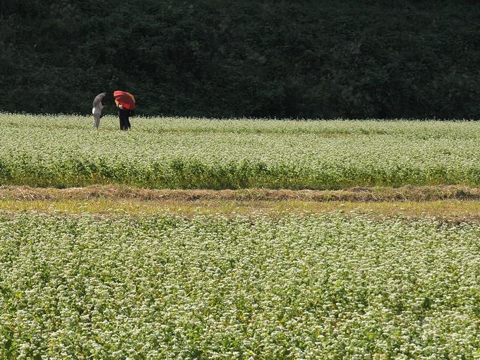 白山市鳥越の蕎麦畑