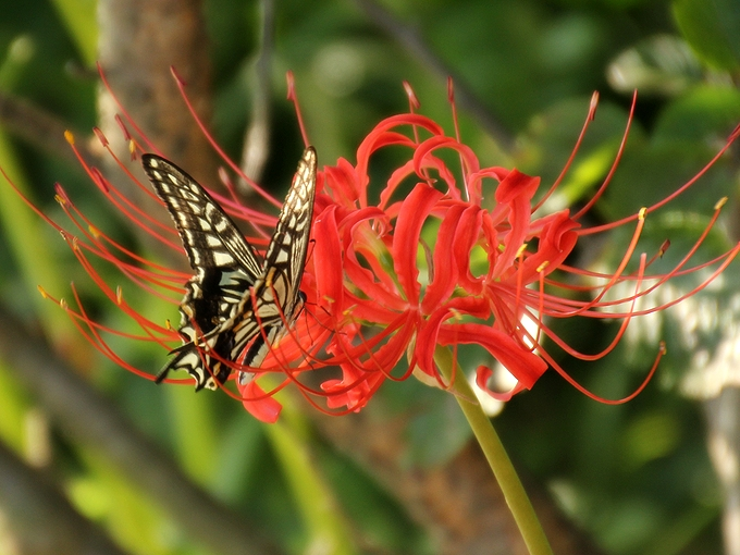 狐山古墳 彼岸花と蝶