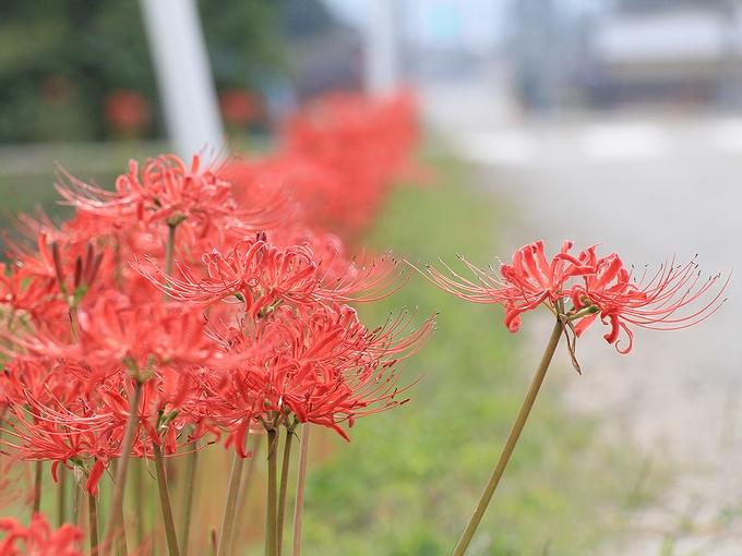 道端に咲く彼岸花 南砺市和泉