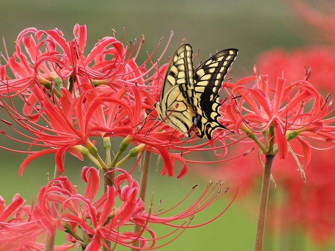 彼岸花と戯れるアゲハチョウ 南砺市福光