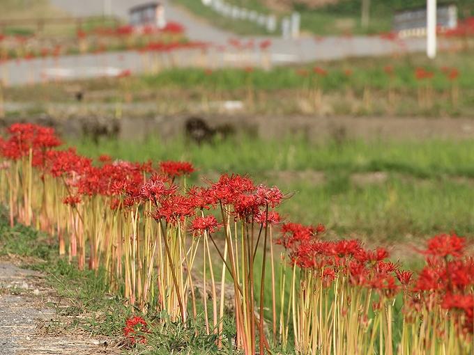 道端に咲く彼岸花 南砺市和泉 明神川付近
