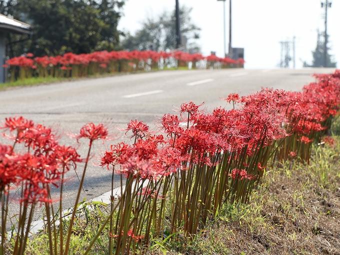 道端に咲く彼岸花 南砺市和泉 小矢部川付近