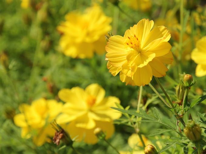 黄色のキバナコスモス イオックスアローザ