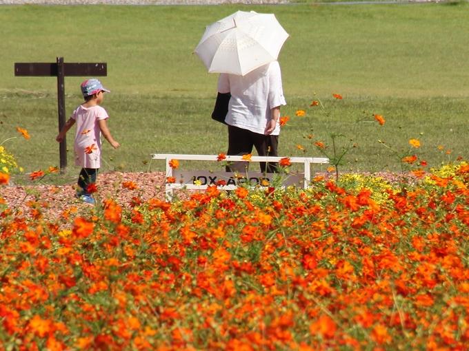 キバナコスモス畑と親子連れ