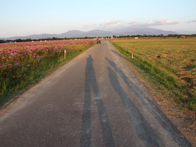 夕暮れのコスモス畑