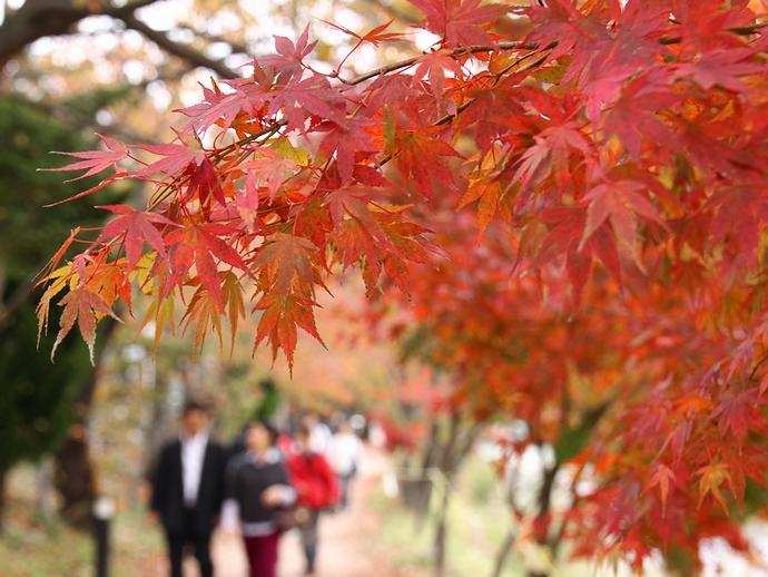 河口湖畔の並木道の紅葉