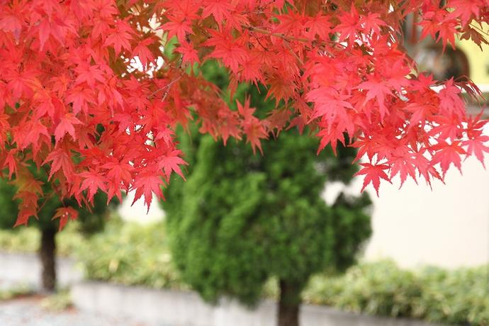 河口湖北岸の紅葉並木