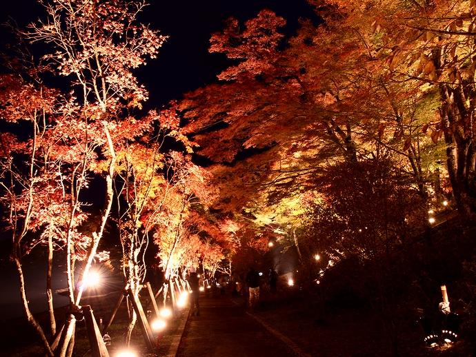 暗闇に浮かぶモミジの赤 山中湖紅葉ライトアップ