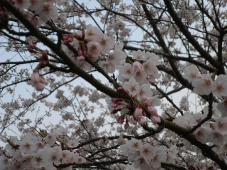 桜2012-2