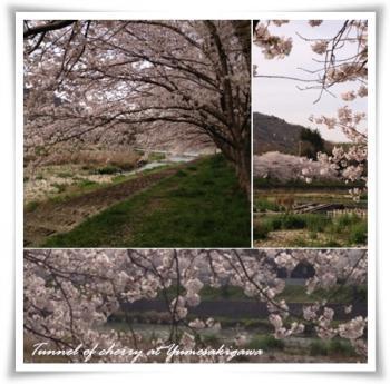 夢前川の桜130405