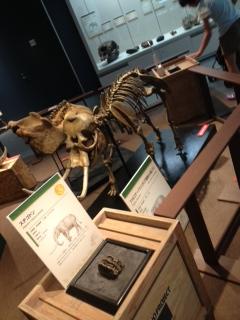 旭川 科学館 絶滅哺乳類