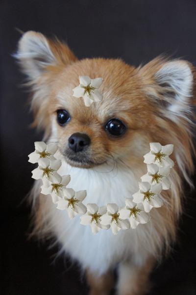 ぷーちん桜