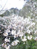 観音寺市不動の滝と桜1