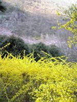 鮮やかな黄色のレンギョウの花1