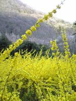 鮮やかな黄色のレンギョウの花2