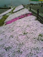 翠波高原の芝桜と菜の花1