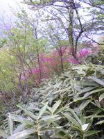 伊予富士登山道の山ツツジ1