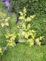メキシコセダムの黄色い花5