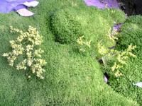 メキシコセダムの黄色い花3