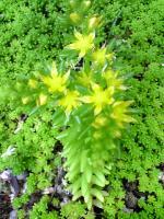 メキシコセダムの黄色い花1