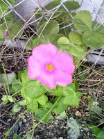 1ムラサキカタバミの花1