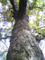 1トチの木4