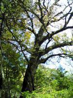 1トチの木3