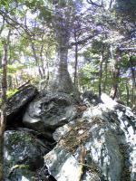 1岩を掴む逞しい樹木4