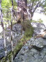 1岩を掴む逞しい樹木2