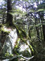 1岩を掴む逞しい樹木1