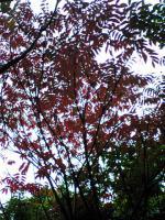1飯野山の紅葉今年は綺麗2