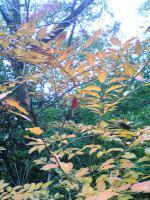 1飯野山の紅葉今年は綺麗1