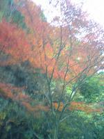 1面河渓谷の素晴らしい紅葉3